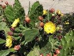 cactus flowers.jpg