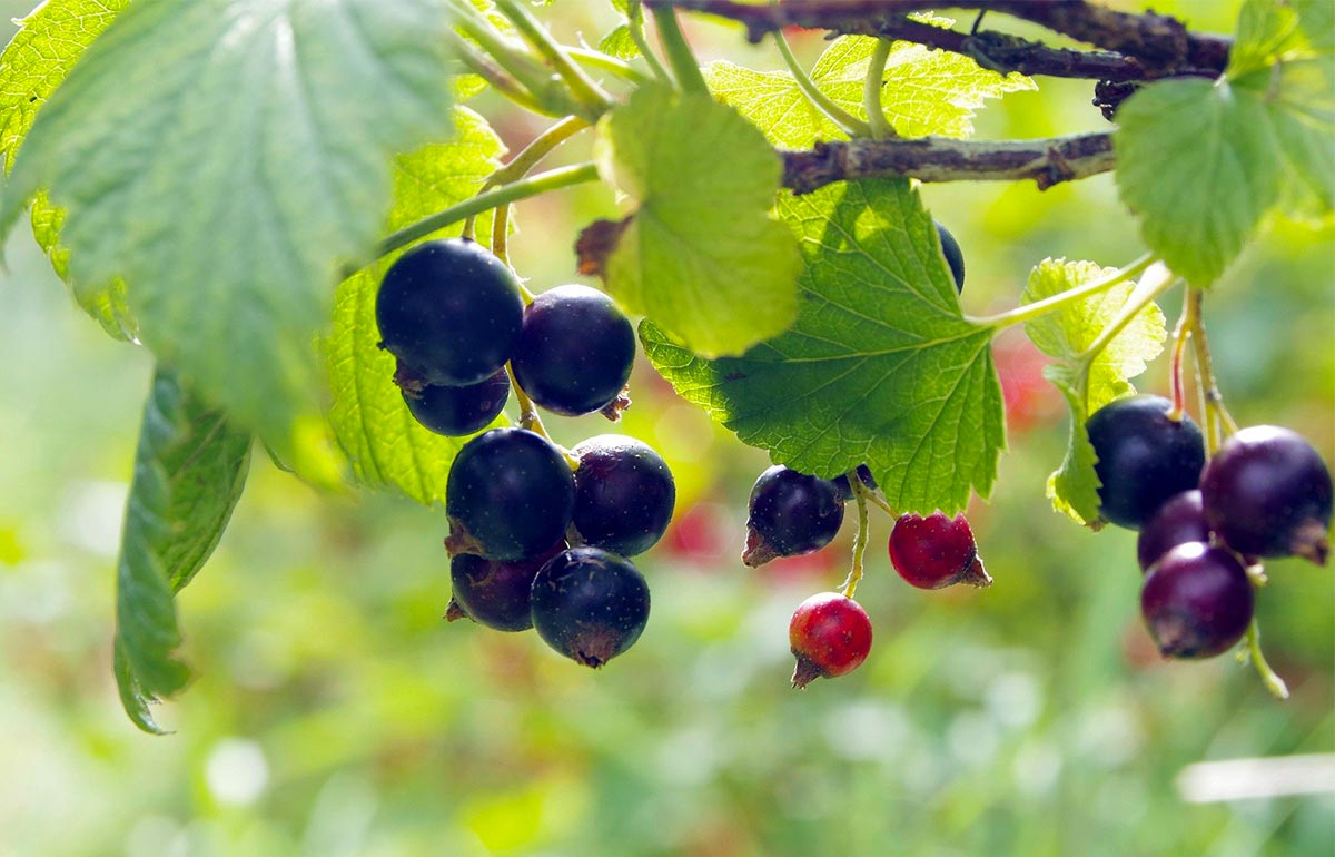 Cassis Berry:  The New King of the Superfruits