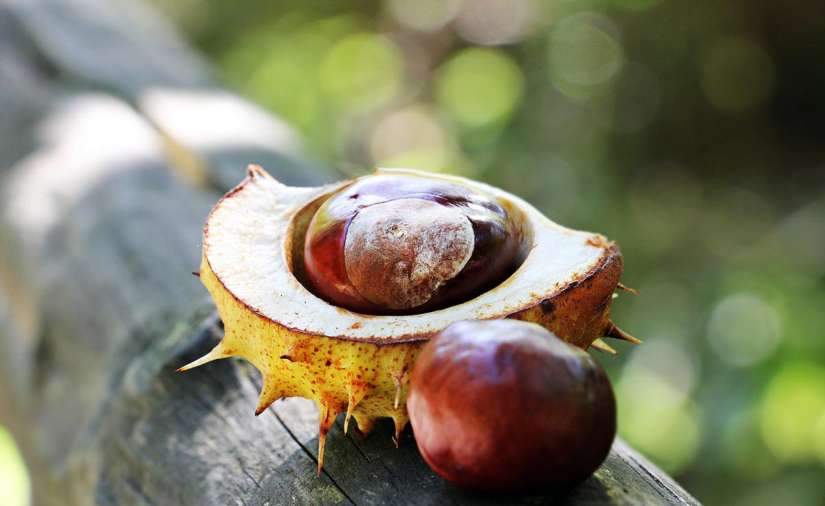 What Is Horse Chestnut?