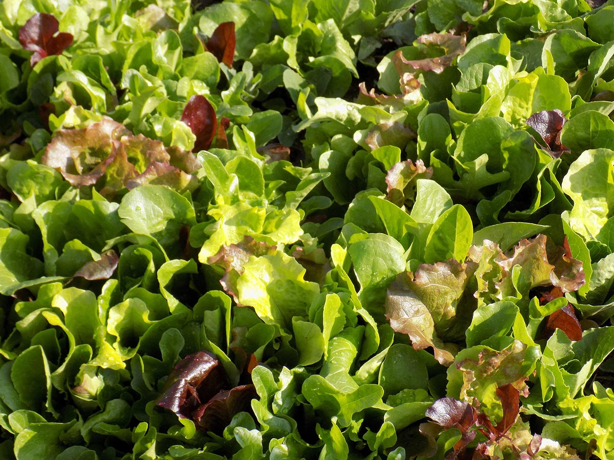 Mesclun mit Sauerampfer Salat